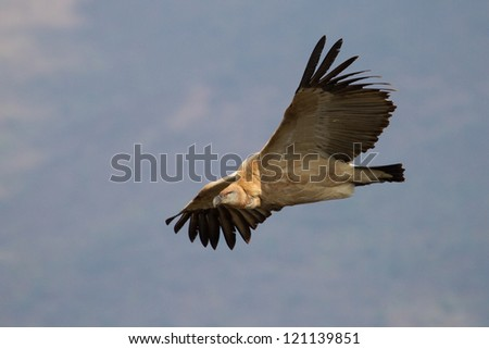 A photo of a flying cape vulture clearly showing its yellow eye
