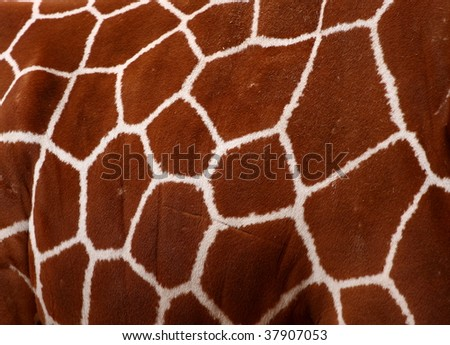 A photo of a Giraffe