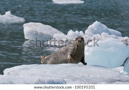 A photo of a harbor seal (also known as the common seal) resting on an ice flow in Prince William Sound off the coast of Alaska.