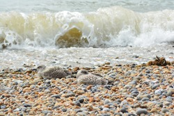 A photo of a juvenile/young Herring Gulls with first winter plumage sitting on the pebble beach  at Brighton Palace Pier.