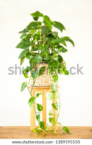 A photo of a large, lush Devil's Ivy pot plant (Epipremnum Pinnatum), also known as the Golden Pothos, planted in a basket, sitting on a timber stand on a timber floor, isolated on a white background.