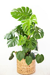 A photo of a large, mature, Monstera deliciosa pot plant, also known as the Swiss Cheese Plant, with large glossy, green leaves, potted in a round basket, isolated on a white background.