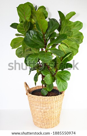 A photo of a lush, healthy Fiddle Leaf Fig or Ficus lyrata Bambino with large, glossy, green leaves, in a basket on a white background. Сток-фото ©