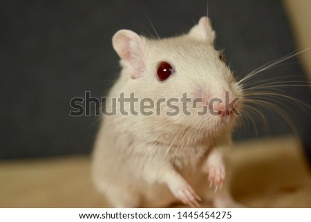 A photo of a Mongolian gerbil.