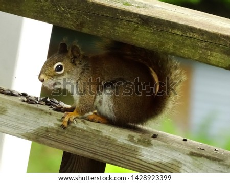 A photo of a red squirrel angled to create two right angle triangles from the upper right and lower left railing and photo border