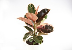 A photo of a Rubber Tree Variegata pot plant (Ficus elastica), also known as the Rubber Fig, with large, variegated red, cream & green leaves, in a white ceramic pot, isolated on a white background.