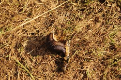 A photo of a slimy dark brown slug eating another dead slug on light brown grass in a field.