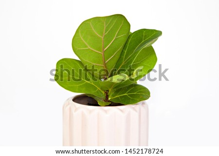 A photo of a small, healthy Fiddle Leaf Fig pot plant, (Ficua lyrata) with large, green, leathery leaves, in a pink ceramic pot, isolated on a bright white background.