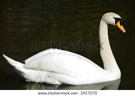 a photo of a swan in freedom
