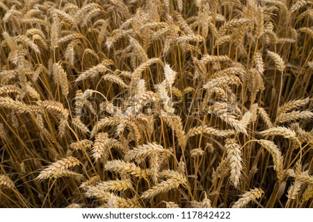 A photo of a wheat field