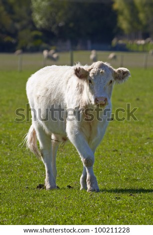 A photo of a young white cow