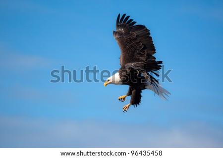 A Photo of an American Bald Eagle in Flight with a blue sky background.