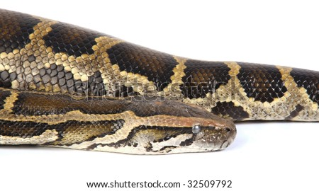 a photo of anaconda on white - stock photo