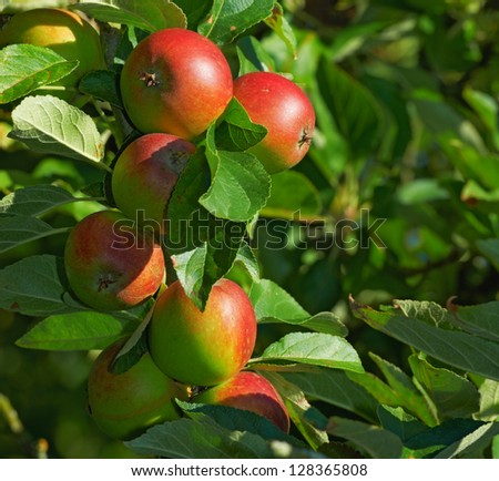 A photo of apples in natural setting