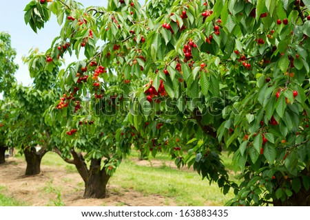 A photo of beautiful cherry trees with cherries in orchard. Stock photo ©