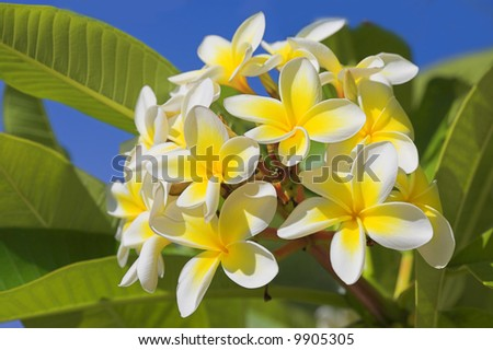 Pictures Of Hawaiian Flowers. beautiful Hawaiian flowers