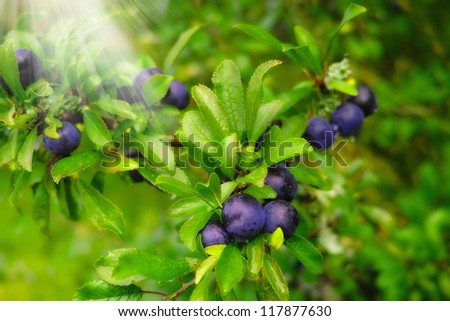 A photo of blue berries an early misty morning
