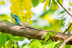A photo of Blue-crested Lizard is lives in nature, which is an animal of Thailand.