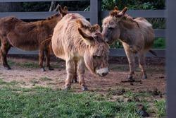 A photo of donkeys in a field.