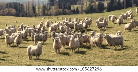 a photo of lots of sheep in natural setting - stock photo