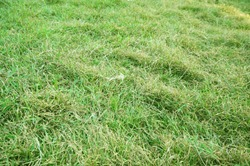 A photo of messy green grass texture and background, close up