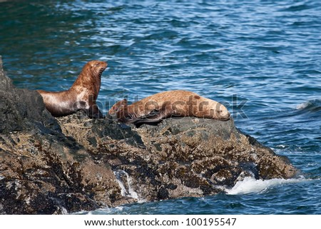 A photo of several Stellar Sea Lions resting on the rocky shore of the Prince William Sound coastal area of Alaska.