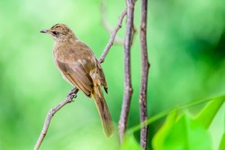 A photo of Streak Eared Bulbul is lives in nature, which is the bird of Thailand.