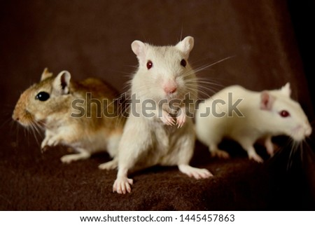 A photo of three Mongolian gerbils.