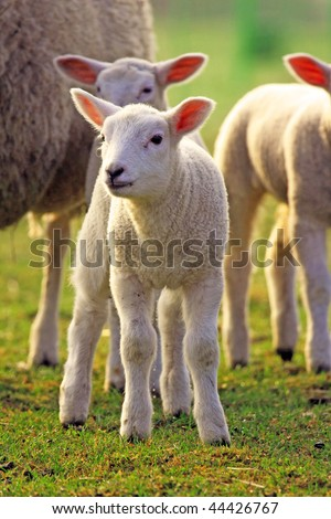 a photo of young sheeps in spring 2009