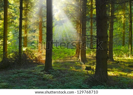 A photo sunrise in a pine forest