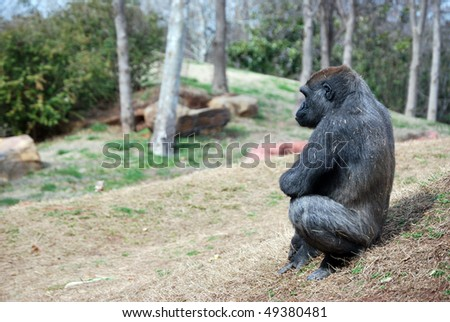 A photograph of a ape sitting on some rocks.