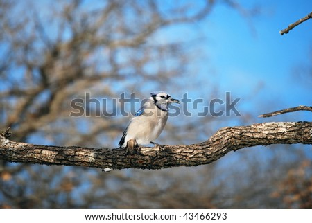 A photograph of a blue jay perched on a tree branch.