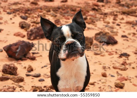A photograph of a boston terrier puppy with a dirty face against a rock and sand background.