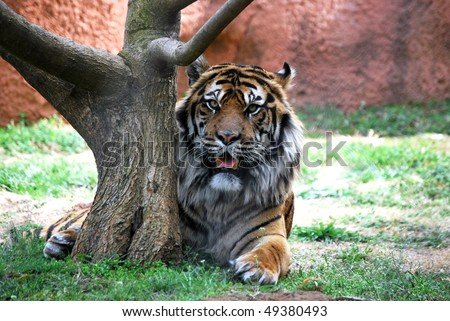 A photograph of a tiger resting behind a tree.