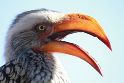 A photograph of a wild bird close up with a long beak opening its mouth in Pilanesberg National park. Biodiversity.