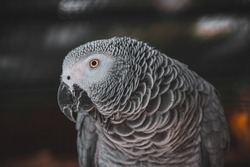 A photograph of my African grey parrot with a blurred out background in Monte Casino bird park. Biodiversity.