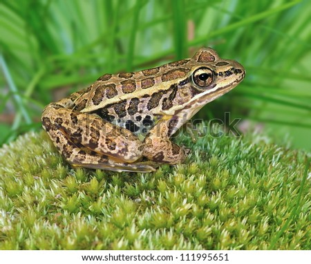 A Pickerel Frog (Rana palustris) on a mossy rock.