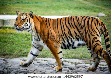 A picture clicked of Tiger at the Chhat Bir Zoo in Zirakpur