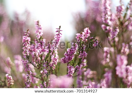 A picture from the forest meadow full of purple heath during the sunny summer day.  #701314927