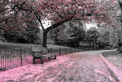 A picture from the park where the wooden bench stands under the cherry tree with pink blooms. The leaves are falling down on the bench and the road.