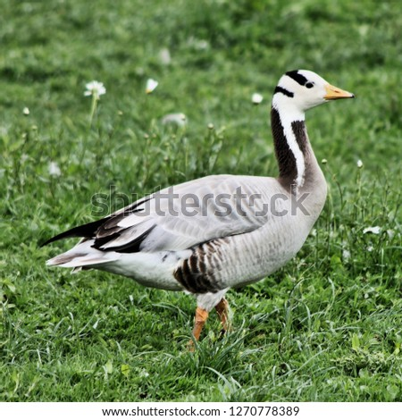 A picture of a Bar Headed Goose