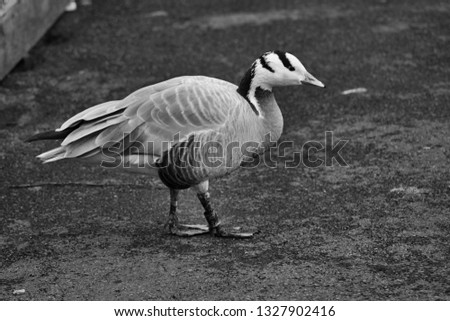 A picture of a Bar Headed Goose in monochrome