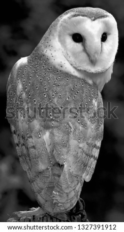 A picture of a Barn Owl in Monochrome