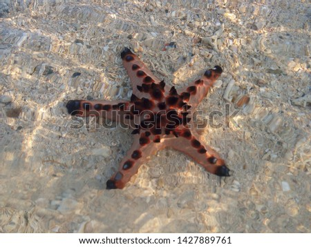 A picture of a beautiful chocolate chip starfish laying on the white sand photographed underwater. The photo was taken during the summer vacation on an island with white sand.