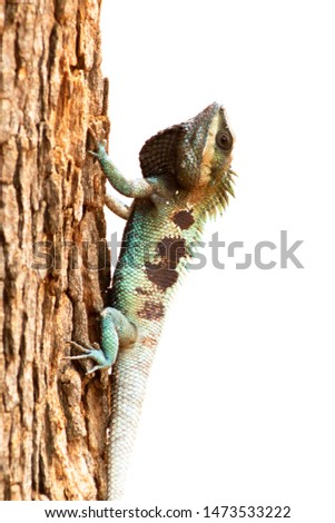 A picture of a blue chameleon of one Asian species That camouflaged the brown timber