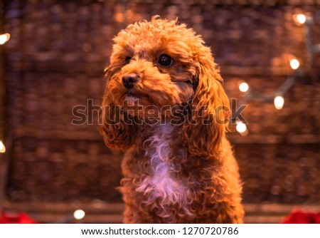A picture of a brown toy poodle wrapped in Christmas lights