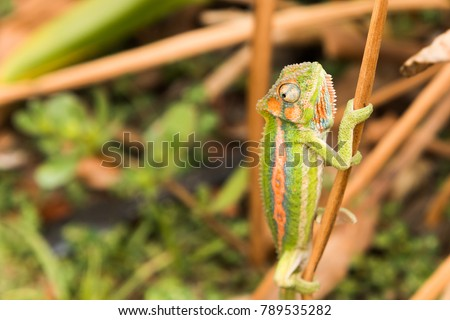 A picture of a camouflaged Cape Dwarf chameleon (Bradypodion pumilum) climbing onto a branch. They are only found in the Western Cape in South Africa.