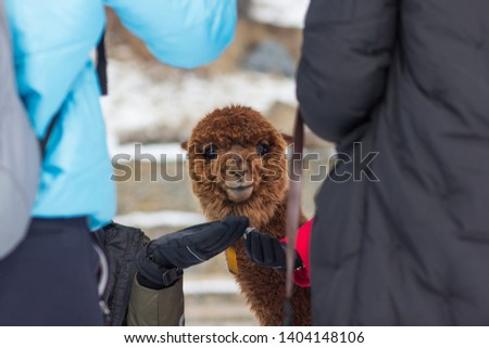 A picture of a cute, brown alpaca staring into the camera across two tourist.