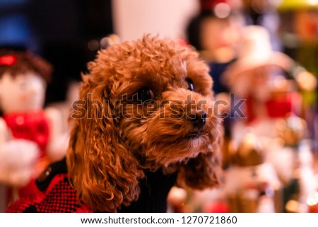 A picture of a cute brown toy poodle sitting next to a bunch of nutcrackers