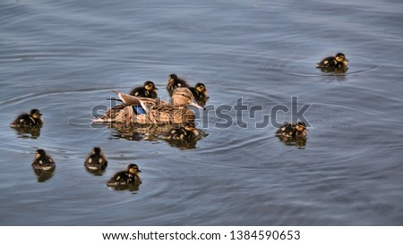 A picture of a female Mallard with her ducklings
